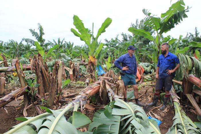 AU Growers Survey Damaged Bananas CREDIT Australian Banana Growers' Council TAGS Banana Cyclone Damaged Winds
