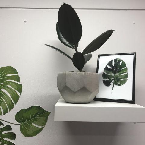 Rubber Plant Office Plant