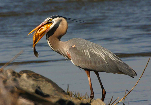 Heron Deterrents & Pest Control