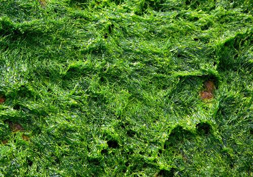 String Algae (blanketweed) control