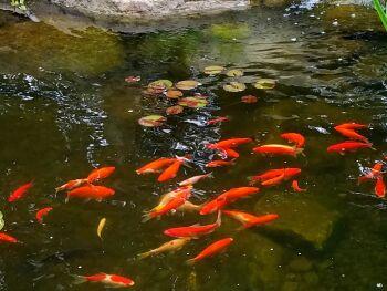2m x 2m Goldfish Pond Kit