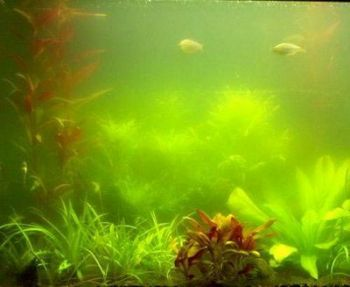 Koi Pond Algae control - 10g treats 25,000L
